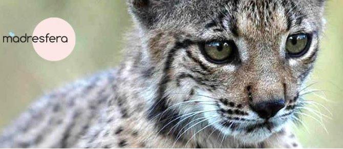 Campaña de WWF «Adopta un Lince Ibérico» en la que participamos